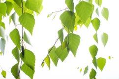 Berktak met bladeren op een witte achtergrond Stock Foto's