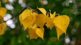 Berktak met gele bladeren die in de dag van de windherfst slingeren stock footage