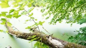 Berktakjes en gevallen boom op de kust van de vijver Royalty-vrije Stock Foto