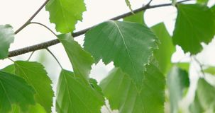 Berktakken en jonge heldere bladeren voor dagzon stock footage