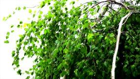 Berktakken met bladeren in de wind op de witte achtergrond stock video