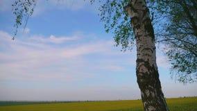 Berktribunes op de rand van het gebied met bloeiend raapzaad! stock footage