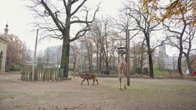 BERLÍN, ALEMANIA - 23 DE NOVIEMBRE DE 2018: Antílope que camina en el césped, jirafa que come la hierba en Berlin Zoo almacen de metraje de vídeo