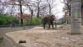 BERLÍN, ALEMANIA - 23 DE NOVIEMBRE DE 2018: Elefante gris grande y su estiércol, heces en el jardín zoológico de Berlín almacen de video