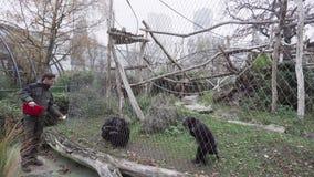 BERLÍN, ALEMANIA - 23 DE NOVIEMBRE DE 2018: Un empleado de Berlin Zoo alimenta monos adultos del chimpancé metrajes