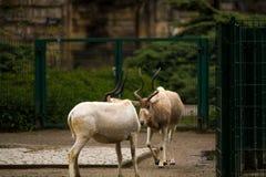16 05 2019 Berl?n, Alemania Parque zool?gico Tiagarden Las cabras salvajes y blancas con los cuernos torcidos caminan a trav?s de fotografía de archivo libre de regalías