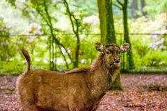 16 05 2019 Berl?n, Alemania Parque zool?gico Tiagarden Paseo salvaje y peque?o de los ciervos a trav?s del territorio entre verde imágenes de archivo libres de regalías
