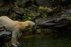 16 05 2019 Berl?n, Alemania zoo Oso polar grande durante una lluvia con el peque?o ni?o Humor juguet?n y curioso en los animales  fotografía de archivo