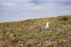 Berlengas öar, Portugal - sillfiskmås i ett fält av lösa blommor royaltyfria bilder