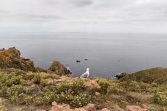 Berlengaseilanden, Portugal - Mei 21, 2018: Haringenmeeuw op de rotsen royalty-vrije stock afbeelding