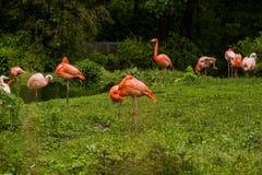 16 05 2019 Berlijn, Duitsland Dierentuin Tiagarden Pak heldere vogels in een groene weide dichtbij het meer De exotische flamingo stock afbeelding