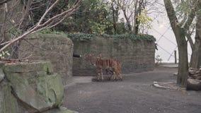 Berlijn, Duitsland - 23 Nov., 2018: Een bezoeker voedt een groep kleine antilopen in Berlin Zoological Garden stock footage