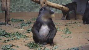 Berlim, Alemanha - 23 de novembro de 2018: Tiro médio de um macaco do mandril no jardim zoológico video estoque