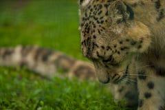 15 05 2019 Berlim, Alemanha Jardim zool?gico Tiagarden Snow Leopard animal selvagem Caminhadas pregui?osas atrav?s do territ?rio fotos de stock royalty free