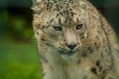 15 05 2019 Berlim, Alemanha Jardim zool?gico Tiagarden Snow Leopard animal selvagem Caminhadas pregui?osas atrav?s do territ?rio imagens de stock royalty free