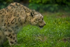 15 05 2019 Berlim, Alemanha Jardim zool?gico Tiagarden Snow Leopard animal selvagem Caminhadas pregui?osas atrav?s do territ?rio imagens de stock