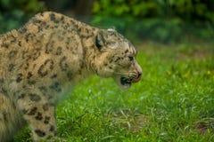 15 05 2019 Berlim, Alemanha Jardim zool?gico Tiagarden Snow Leopard animal selvagem Caminhadas pregui?osas atrav?s do territ?rio fotografia de stock