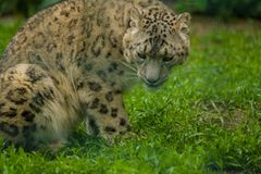15 05 2019 Berlim, Alemanha Jardim zool?gico Tiagarden Snow Leopard animal selvagem Caminhadas pregui?osas atrav?s do territ?rio foto de stock royalty free