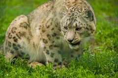 15 05 2019 Berlim, Alemanha Jardim zool?gico Tiagarden Snow Leopard animal selvagem Caminhadas pregui?osas atrav?s do territ?rio fotos de stock