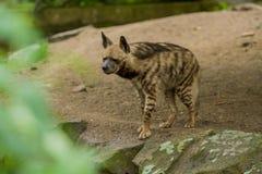 15 05 2019 Berlin, Allemagne Zoo Tiagarden L'hy?ne Arabe marche ? travers le territoire ? la recherche de la nourriture image libre de droits
