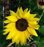 Berlin blomma. Girasol sunrose solros Royalty Free Stock Images