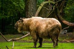16 05 2019 Berlin, Deutschland Zoo Tiagarden Gro?e B?ffel gehen ?ber das Gebiet nach starkem Regen lizenzfreies stockbild
