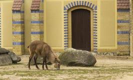 Berlin Elk Deer Stock Afbeeldingen