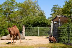 Camel in Berlin Zoo. Berlin, Germany - 28 May, 2014: Camel in Berlin Zoo Stock Photos