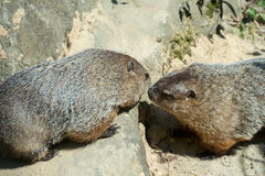 Berlin, Germany - May 07, 2016: A couple of groundhogs at the Zoo Royalty Free Stock Image