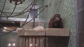 Berlin, Germany - Nov 23, 2018: Cute orangutan eats broccoli in the Berlin Zoological Garden. stock video footage