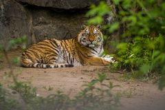 16.05.2019. Berlin, Germany. Zoo Tiagarden. A big adult tiger among greens. Wild cats and animals. stock photo