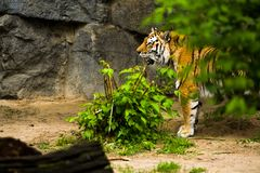 16.05.2019. Berlin, Germany. Zoo Tiagarden. A big adult tiger among greens. Wild cats and animals. royalty free stock photo