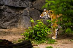 16.05.2019. Berlin, Germany. Zoo Tiagarden. A big adult tiger among greens. Wild cats and animals. stock photos