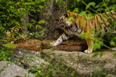 16.05.2019. Berlin, Germany. Zoo Tiagarden. A big adult tiger among greens. Wild cats and animals. stock images