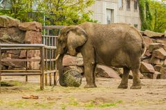 15.05.2019. Berlin, Germany. Zoo Tiagarden. The big family of gray elephants walks across the territory and eat a grass. Adult and royalty free stock photography