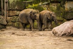 16 05 2019 berlin germany Zoo Tiagarden Familjen av elefanter g?r ?ver territoriet och ?ter ett gr?s royaltyfri foto
