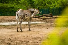 16.05.2019. Berlin, Germany. In the zoo Tiagarden the family of a zebra walks. Wild animals, horses. Eat a grass. stock images