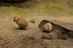 16 05 2019 berlin germany Zoo Tiagarden L?sa och r?da gnagare av babak gr?ver sand i s?kande av mat royaltyfria bilder