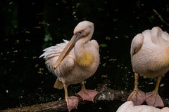 14.05.2019. Berlin, Germany. Zoo Tiagarden. Pack of pelicans sit near a pond and dry the feathers after a rain. Gray and pink big stock photography