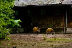 16.05.2019. Berlin, Germany. Zoo Tiagarden. Wild and red boars with twisted ears walk across the territory. 16.05.2019. Berlin, Germany. Zoo Tiagarden. Wild and royalty free stock photography