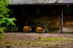 16.05.2019. Berlin, Germany. Zoo Tiagarden. Wild and red boars with twisted ears walk across the territory. 16.05.2019. Berlin, Germany. Zoo Tiagarden. Wild and stock photo