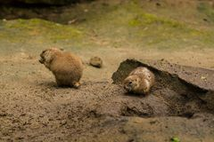 16.05.2019. Berlin, Germany. Zoo Tiagarden. Wild and red rodents of babak dig sand in search of food. royalty free stock images