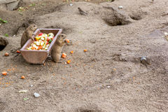 Berlin Prairie Dogs Stock Photography