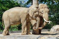 Berlin Tyskland - Maj 07, 2016: Par av afrikanska elefanter som parar ihop på Berlin Zoo Arkivbilder