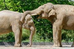 Berlin Tyskland - Maj 07, 2016: Par av att para ihop elefanter på Berlin Zoo Royaltyfri Foto