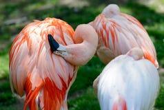 Berlin Tyskland - Maj 07, 2016: Rosa flamingo på Berlin Zoo Royaltyfria Bilder