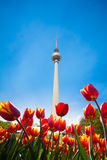 Berliner Fernsehturm view with red tulips Stock Image
