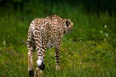 16 05 2019 Berlino, Germania Zoo Tiagarden Animali selvatici e gatti Il leopardo adulto ? riscaldato sul sole e sul prato verde immagine stock