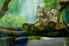 16 05 2019 Berlino, Germania Zoo Tiagarden Il leopardo delle nevi si trova su legno fra i verdi ed ? pigro lecca le zampe Gatti e fotografia stock