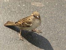 Berlino Spatz - uccello della via da Berlino Fotografie Stock Libere da Diritti